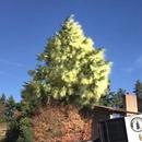 miniature pour Un arbre abattu libère un énorme nuage de pollen