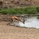 lion-humilier-gazelle