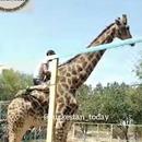 homme-ivre-rodeo-girafe