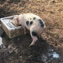 cochon-eau-pipi