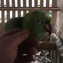 miniature pour Un perroquet imite les pleurs d'un bébé