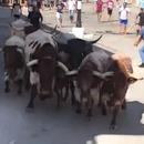 miniature pour Faut pas courir à côté d'un lâcher de taureaux