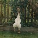 poule-saute-pomme