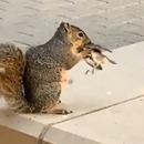ecureuil-mange-tete-moineau