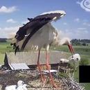 Une cigogne fait tomber un bébé du nid