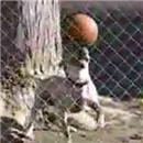 chien-tient-ballon-equillibre-sur-tete