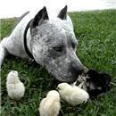 miniature pour Un pitbull gentil avec des poussins