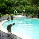 singes-jouent-une-piscine