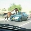 cheval-demolit-pare-brise-une-voiture