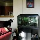 chat-saute-sur-aquarium