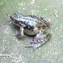 cri-une-grenouille