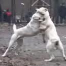 deux-chiens-ne-veulent-plus-se-battre