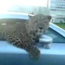 leopard-une-voiture