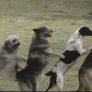 spectacle-chiens