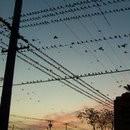 oiseaux-fils-electriques