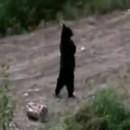 ours-marche-deux-pattes