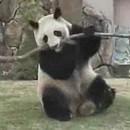 panda-revanche-branche