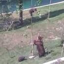 maman-ours-sauve-ourson-arbre