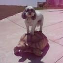 chien-sur-tortue