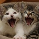 chatons-qui-baillent