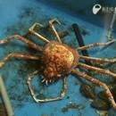 mue-crabe-araignee