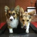 deux-chiens-tapis-roulant