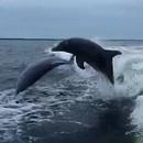 collision-entre-deux-dauphins