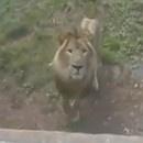 lion-tente-manger-fille-zoo