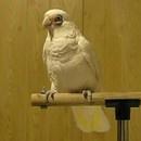 frostie-perroquet-danseur