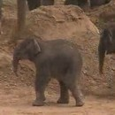 miniature pour Elephanteau se prend un coup de pied