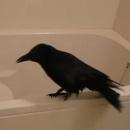 corbeau-bain