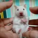 hamster-regard-dramatique