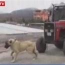 chien-tire-tracteur