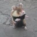 miniature pour Hamster Ninja