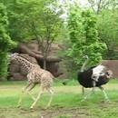 autruche-girafe-s-amusent-ensemble