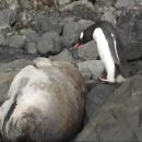 pingouin-phoque-rocher