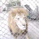 lion-rote