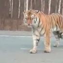 miniature pour Tigre sur une route de Russie
