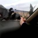 narguer-pigeons-voiture