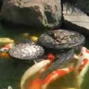caneton-nourrit-poissons