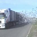 lacher-de-pigeons