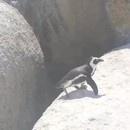 pingouin-saut-de-la-foi