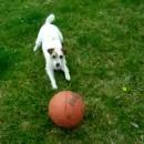 miniature pour Un chien qui rapporte la balle sur le nez