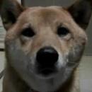 miniature pour Un chien qui aboie moins fort