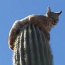 miniature pour Un lynx coincé sur un cactus
