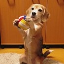 chien-attrape-balle-pattes