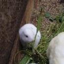miniature pour Un lapin sans oreilles est né près de Fukushima