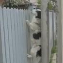 miniature pour Un chien grimpeur
