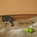 miniature pour Chaton vs 2 pommes