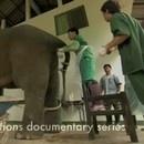 miniature pour Comment masturber un éléphant ?